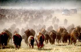 bison round-up, Custer State Park, South Dakota